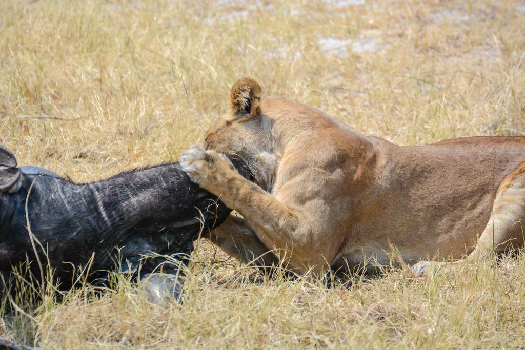 agencia especializada, botswana, búfalo, caza, Chobe, escena, leones, safari, Savuti, viaje con amigos