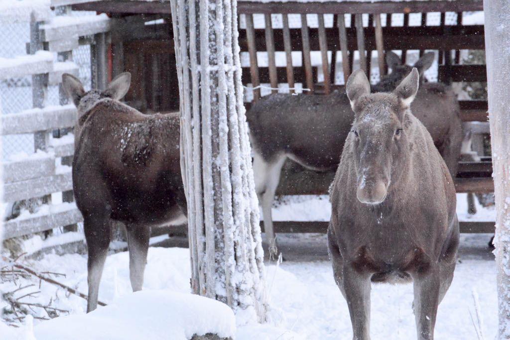 campamento boreal, finlandia, laponia, por libre, Ranua, Rovaniemi, viaje en pareja